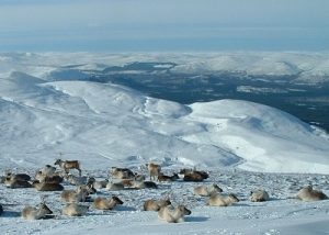 visit aviemore reindeer centre in the cairngorms